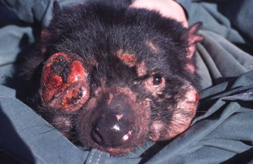 asmanian_Devil_Facial_Tumour_Disease-by-Menna-Jones