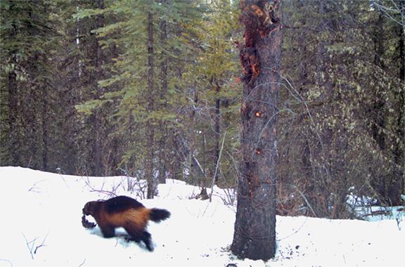 Elusive-wolverine