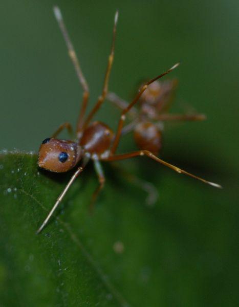科學網—蟻蛛、黃猄蟻和繆勒擬態 - 劉光裕的博文