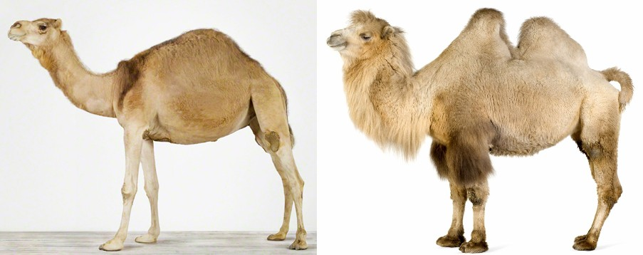 Camels 1 and 2 humps