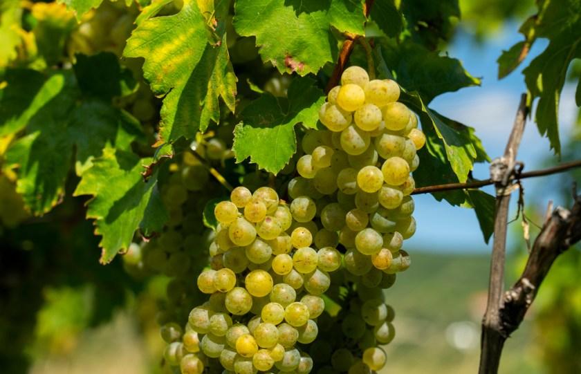 racimos de uvas verdes en la vid