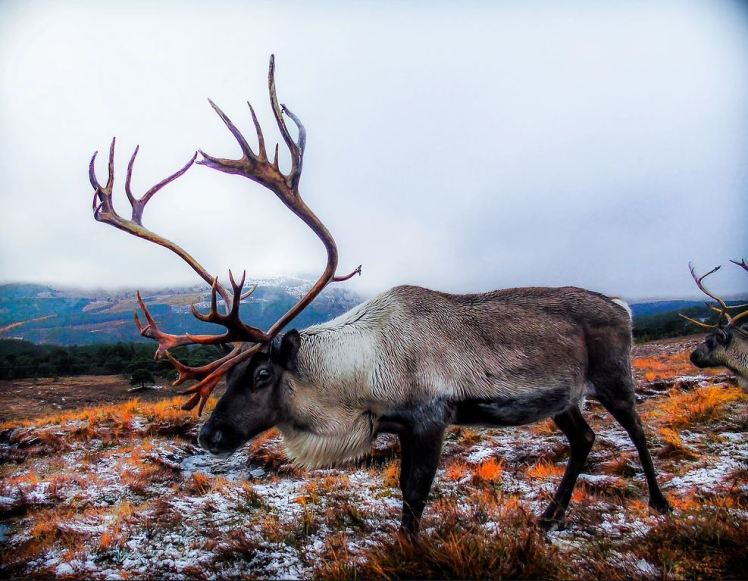 A reindeer in the Cairngorms - photo by Andrew Palmer