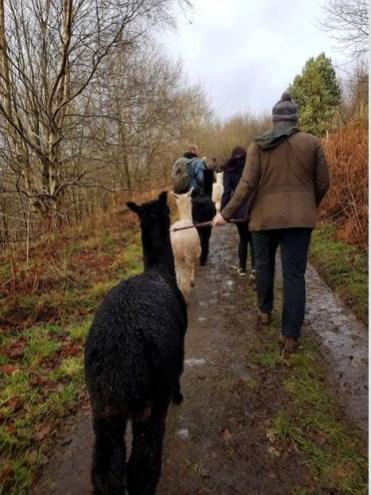 Alpaca trekking (Credit: Hannah Reid)