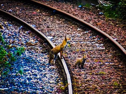 Red foxes, Edinburgh (credit and copywright: Andrew Palmer)