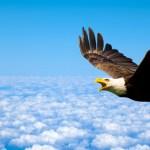eagle-flying