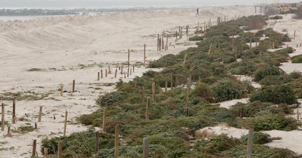 A line of Christmas trees on sand dunes