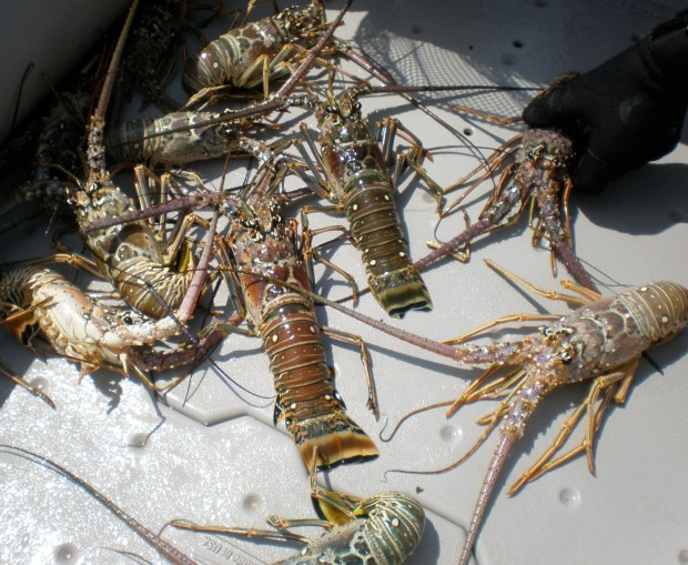 Mighty good eatin'! This pod of lobsters is all in a good day's catch for Steve and friends. Steve tosses them aboard where they roam around the Sea Eagle's hard molded floorboards.