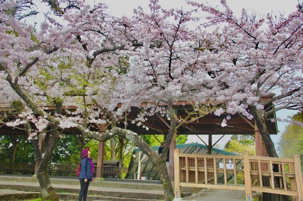 阿里山櫻花|東南旅遊