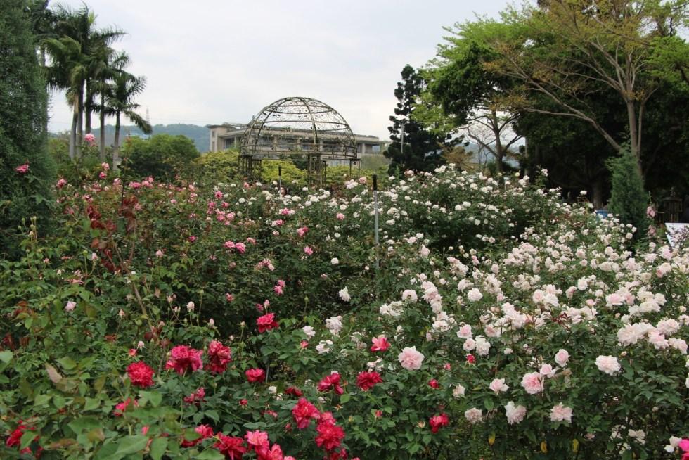 ▲臺北玫瑰園(圖/台北市公園處提供)