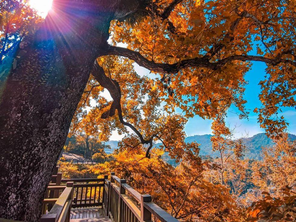 台南關子嶺紅葉公園|東南旅遊