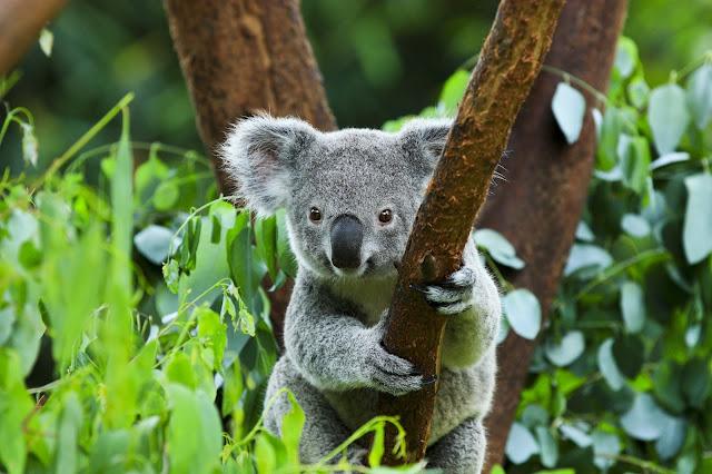 樹熊保育中心|東南旅遊