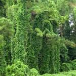 Le kudzu, une plante qui aide au sevrage