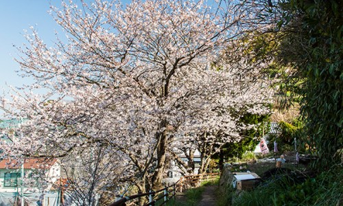 旧阿多田島小学校よこの桜