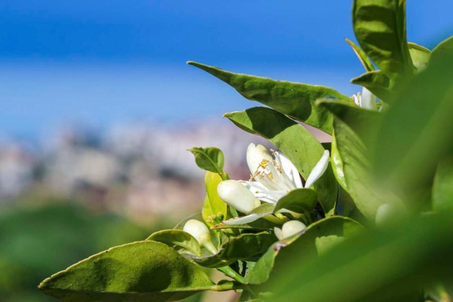 Production d'eau de fleur d'oranger, en Italie