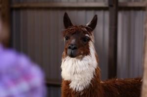 Lama Zoo Blavand