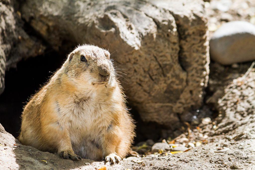 A groundhog exploring outside its burrow.