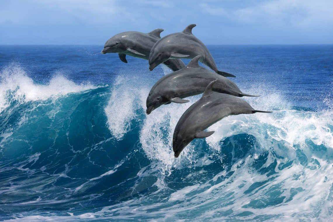 A pod of dolphins leaping above the waves!