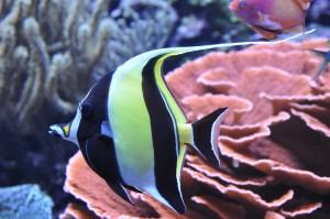 Pterophyllum in Seattle Aquarium