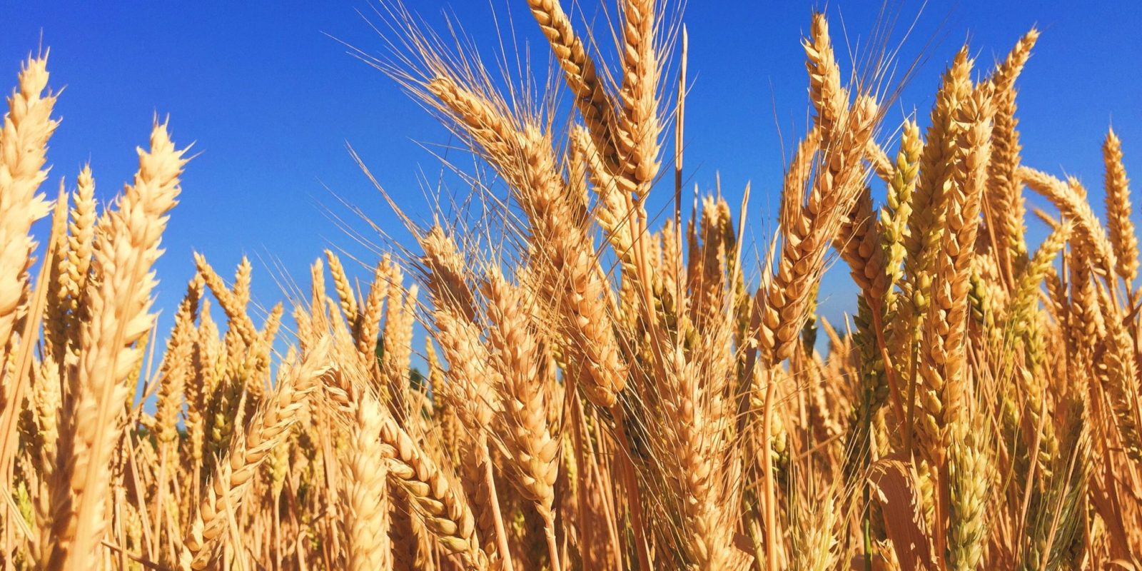 Russian wheat crop slashed to 73.7 MMT