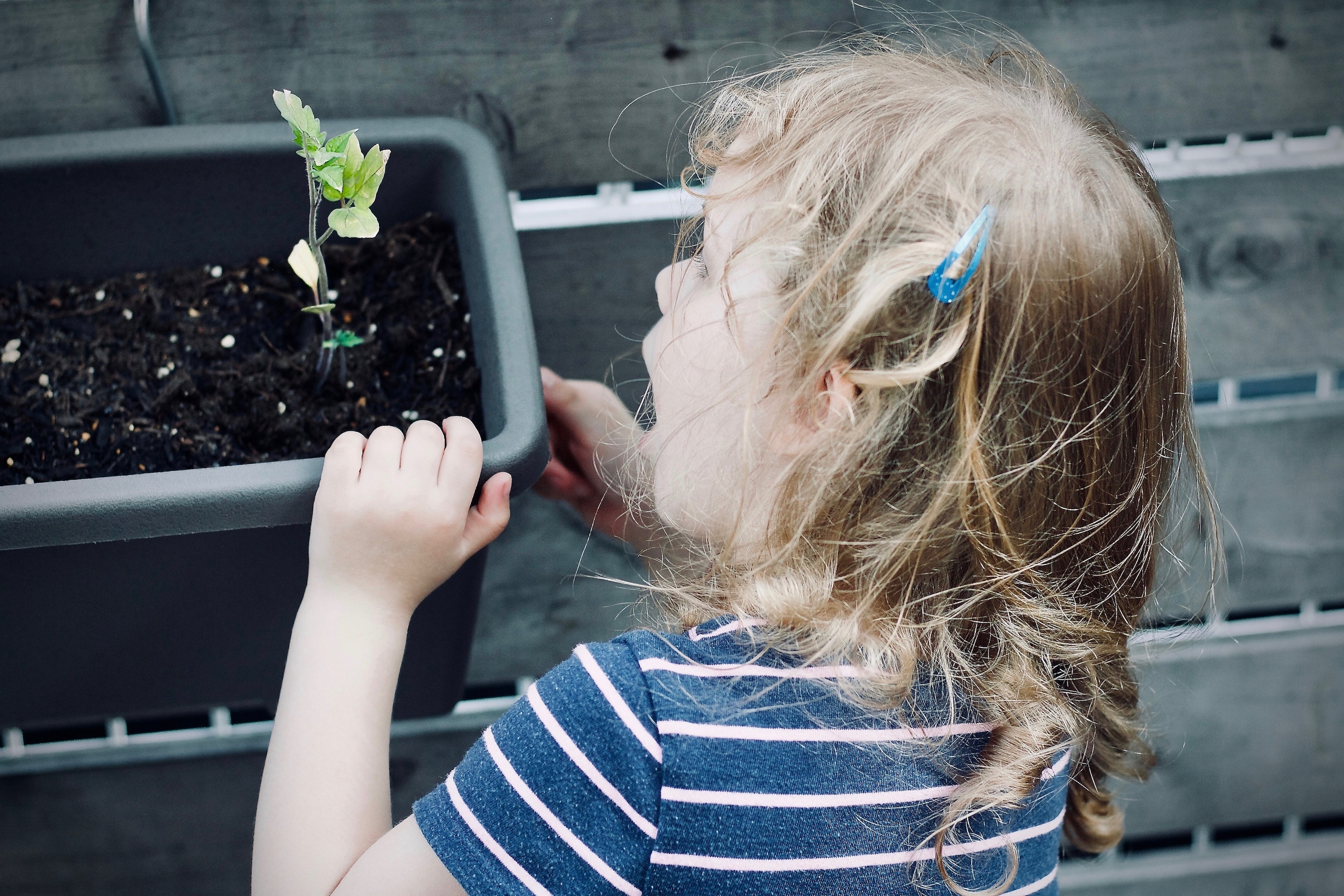 A little girl looks at a sprouting plant.