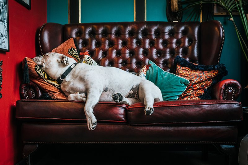 A white dog with pillows around it sleeping on a leather couch.