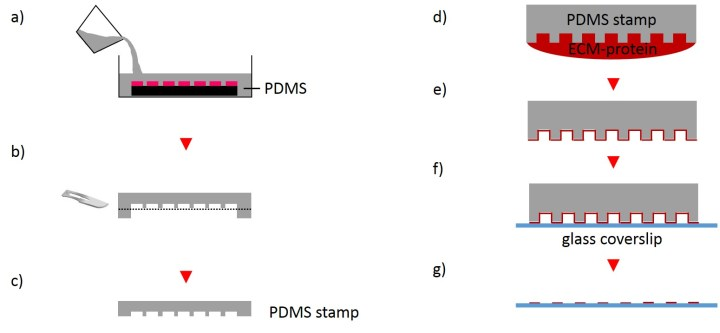 Fig. 4 Schematic procedure for fabrication PDMS stamps and µCP. Liquid prepolymer mixture is casted on silicon master and cured (a). PDMS layer is subsequently peeled off the silicone master and excised into small stamps (b and c). For µCP the microstructured surface of the stamp is coated with an extracellular matrix protein solution and dried (d and e). PDMS stamp is placed in contact with a glass coverslip and removed after promoting good contact by applying gentle pressure.