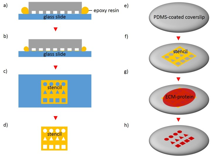 Fig. 5 Schematic procedure of stencil patterning. The initial step is to place a PDMS stamp on a substrate and to disperse epoxy by capillary suction between the stamp and the substrate (a and b). The stamp is subsequently removed (c) and the microstructured stencil peeled off the substrate (d). Following this, the stencil is placed on an elastomer substrate and coated with extracellular matrix proteins (e-h). After incubation and discarding the extracellular matrix protein solution, the stencil is removed. Areas exposed by through holes to the ECM solution are locally modified (h).
