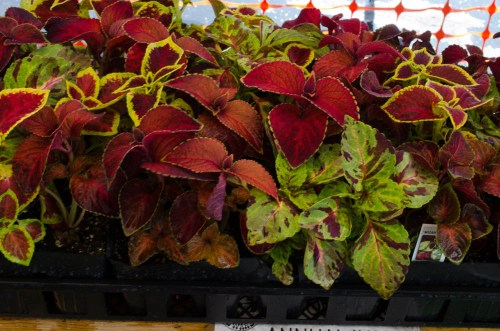 Striking leaves also on these Wizard Mix Coleus