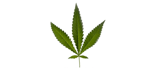 Cannabis types - Ruderalis