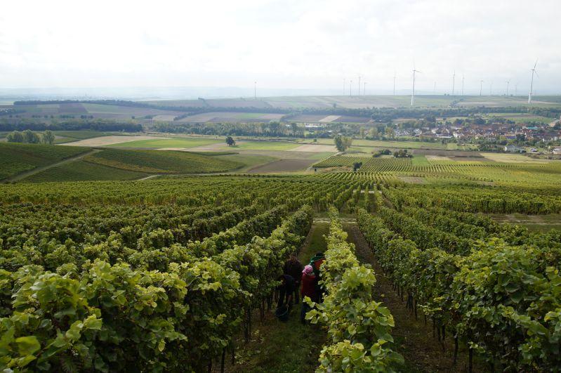 Weinlese Rheinhessen