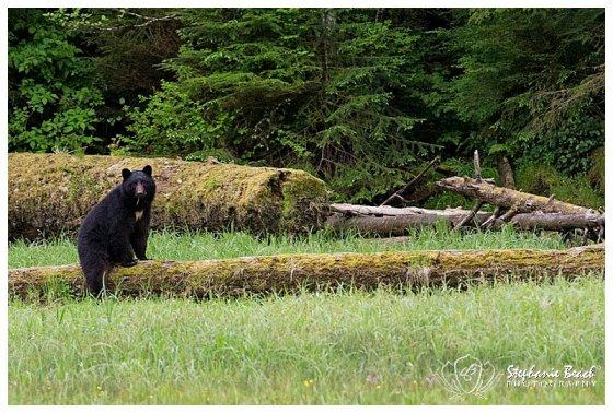 Black Bear in Ketchikan Alaska