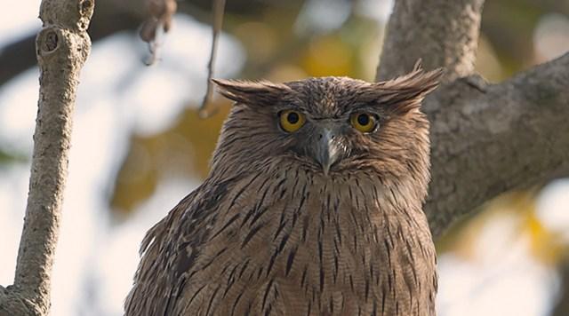 Brown Fish Owl - Jim Corbett National Park