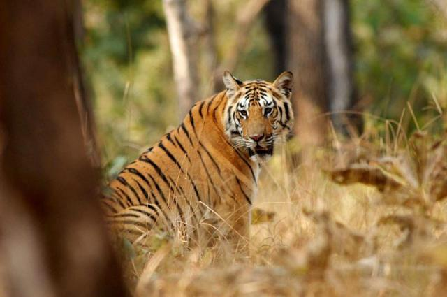 tiger at corbett national park
