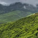 Trekking Up the World's Highest Tea Plantation