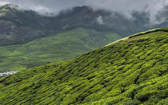 Going Offbeat in Munnar: Trekking Up the World's Highest Tea Plantation