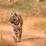 Experience India's Most Surreal and Thrilling Wildlife Safaris