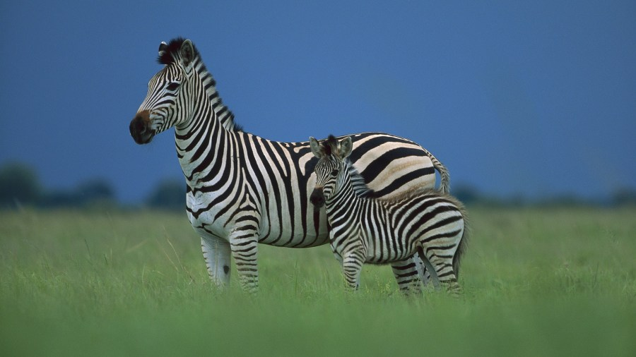 669600-zebra-in-the-wild-world
