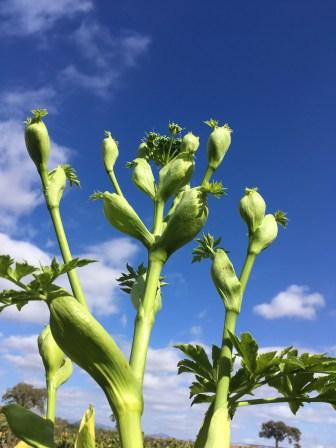 Ashitaba Plant