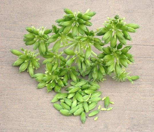 Fresh Ashitaba Seed