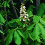 Aesculus_horse_chestnut_flowers