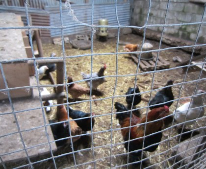 Chickens on the farm in France