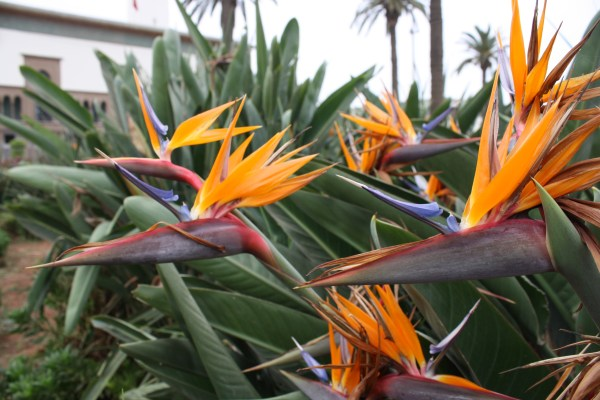 The beautiful and wild Birds of Paradise.