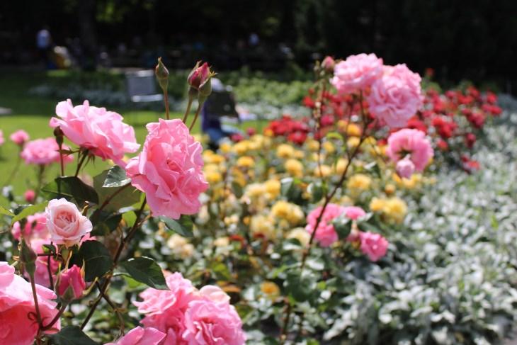 Rose garden roses, Bern, Switzerland - Jerman - Photo 3