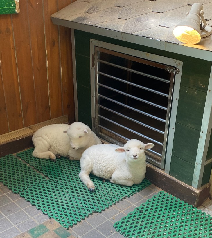 Two small sheep sitting on ground inside of cafe