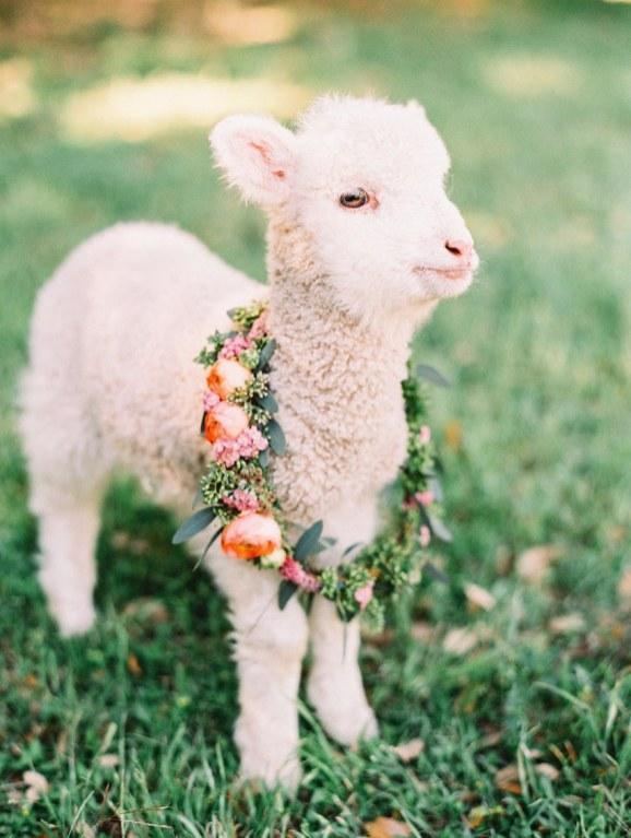 spring wedding inspiration and ideas lamb baby animals cute alba rose photography studio i do