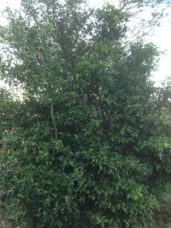 無肥料の柚子の木