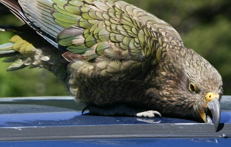 papegaai op huurauto