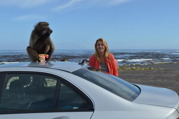 Zuid Afrika aap op huurauto kaap de goede hoop