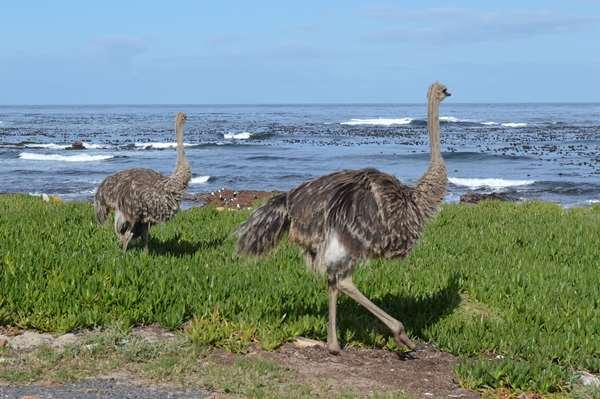 Zuid Afrika struisvogels
