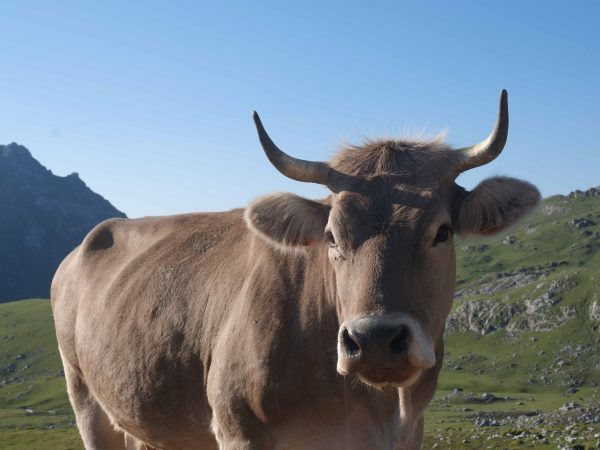 spanje bergen koe